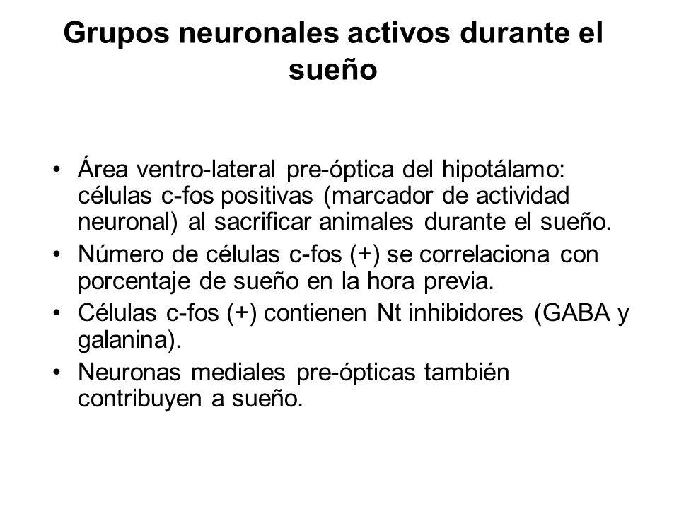 Grupos neuronales activos durante el sueño