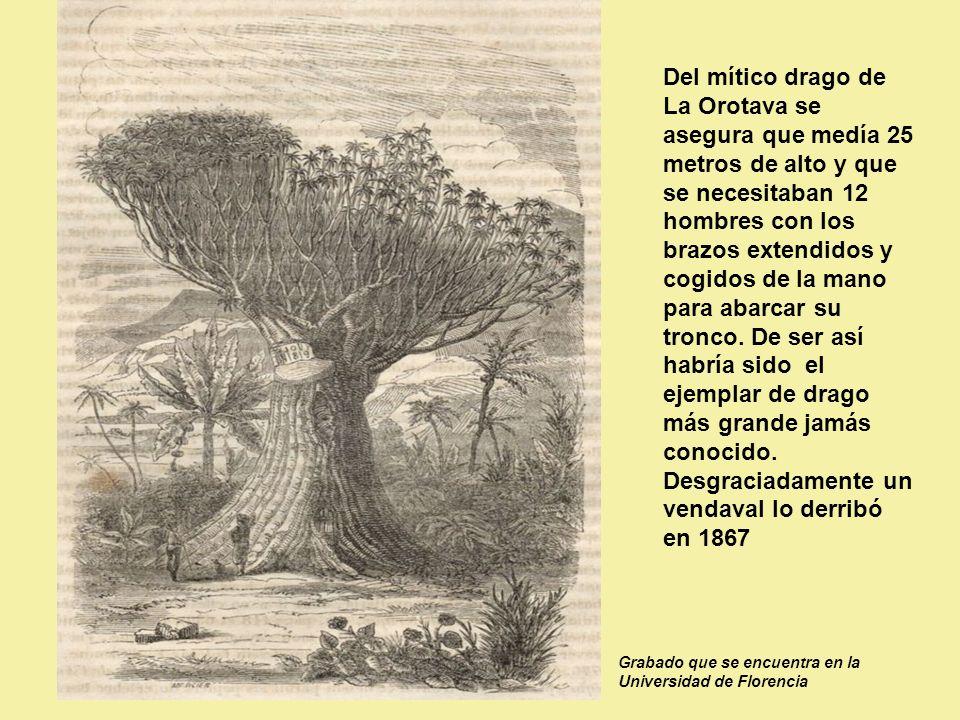 Del mítico drago de La Orotava se asegura que medía 25 metros de alto y que se necesitaban 12 hombres con los brazos extendidos y cogidos de la mano para abarcar su tronco. De ser así habría sido el ejemplar de drago más grande jamás conocido. Desgraciadamente un vendaval lo derribó en 1867