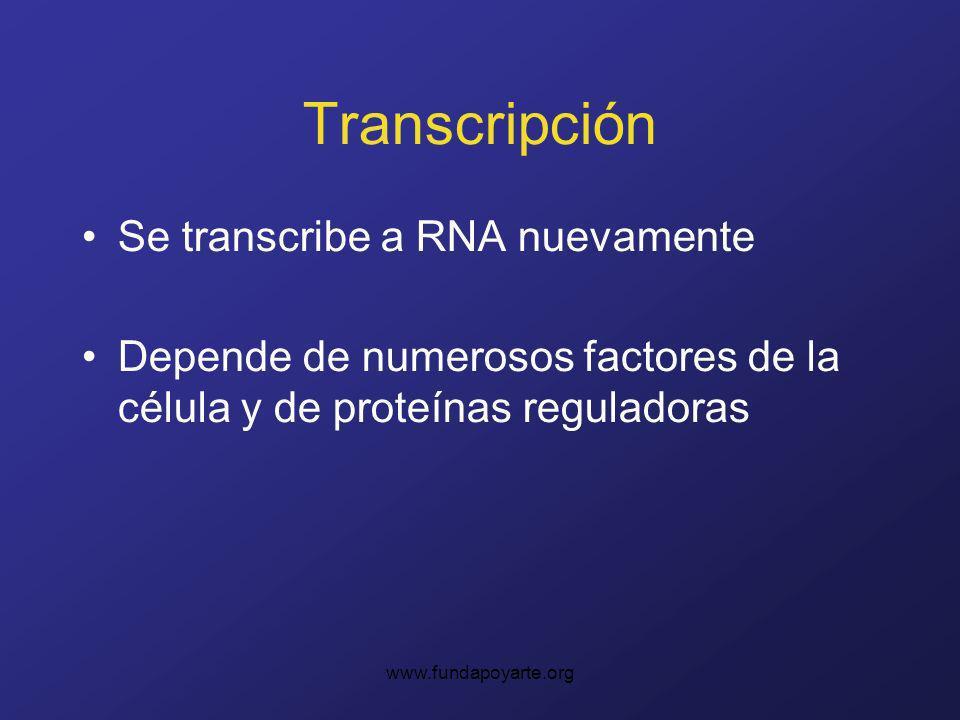 Transcripción Se transcribe a RNA nuevamente
