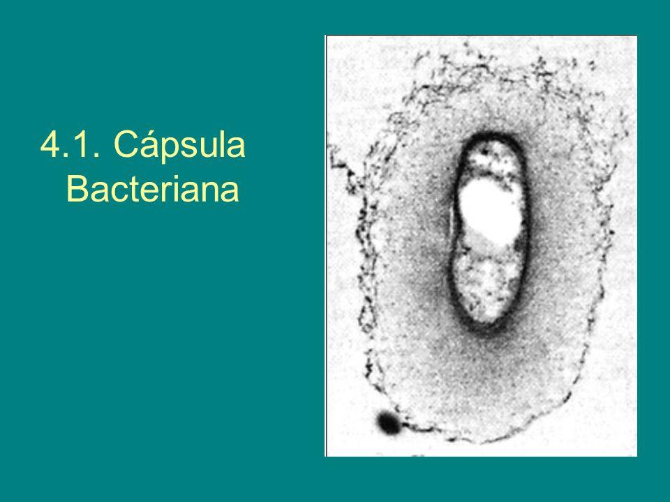 4.1. Cápsula Bacteriana