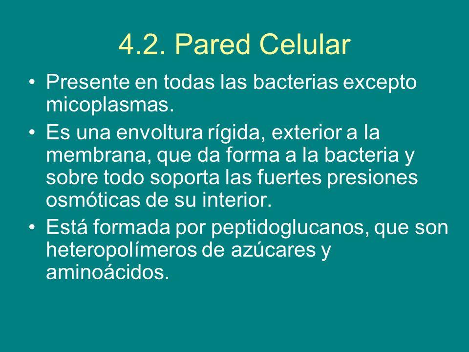 4.2. Pared CelularPresente en todas las bacterias excepto micoplasmas.