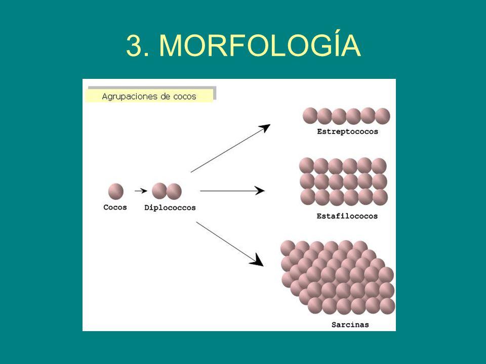 3. MORFOLOGÍA