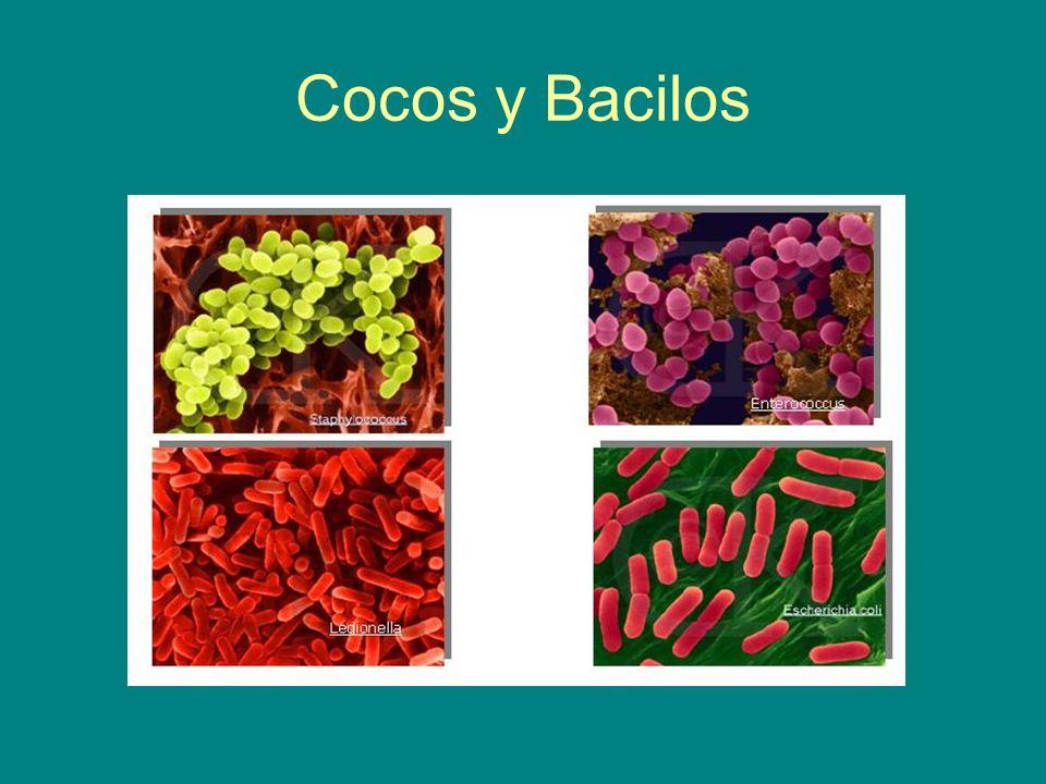 Cocos y Bacilos