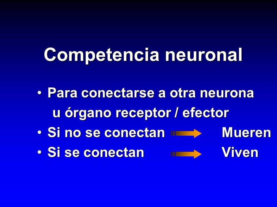 Competencia neuronal Para conectarse a otra neurona