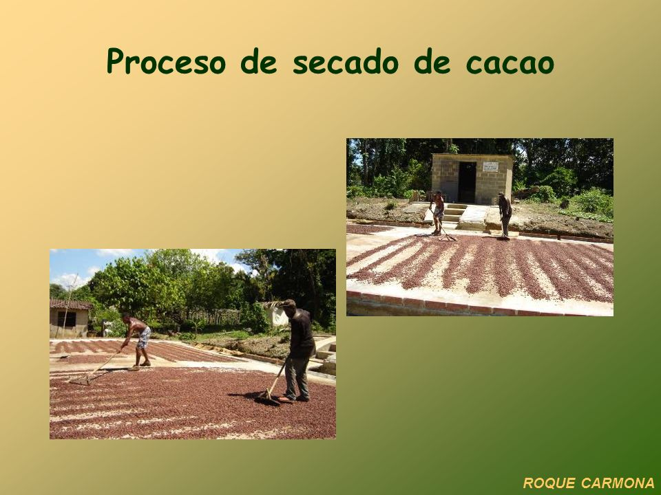 Proceso de secado de cacao