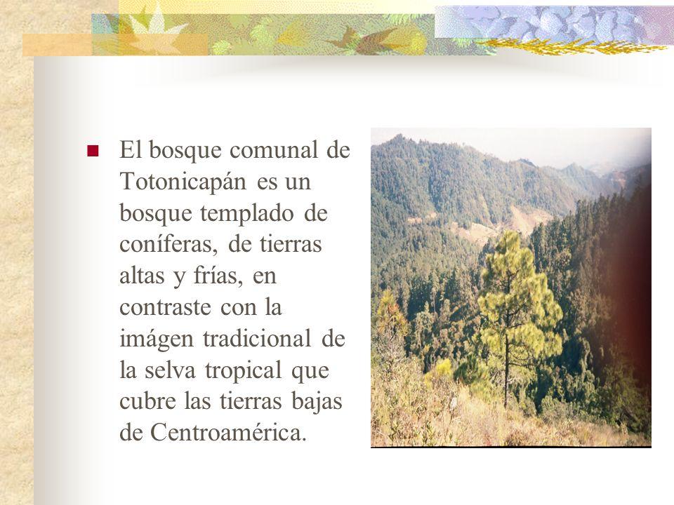 El bosque comunal de Totonicapán es un bosque templado de coníferas, de tierras altas y frías, en contraste con la imágen tradicional de la selva tropical que cubre las tierras bajas de Centroamérica.