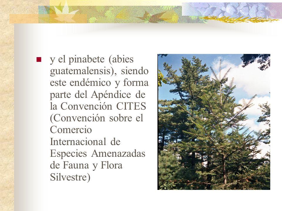 y el pinabete (abies guatemalensis), siendo este endémico y forma parte del Apéndice de la Convención CITES (Convención sobre el Comercio Internacional de Especies Amenazadas de Fauna y Flora Silvestre)