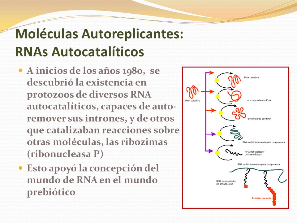 Moléculas Autoreplicantes: RNAs Autocatalíticos