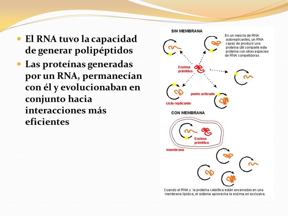 El RNA tuvo la capacidad de generar polipéptidos