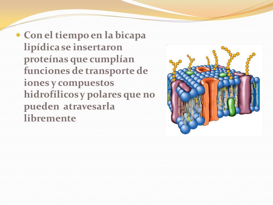 Con el tiempo en la bicapa lipídica se insertaron proteínas que cumplían funciones de transporte de iones y compuestos hidrofílicos y polares que no pueden atravesarla libremente