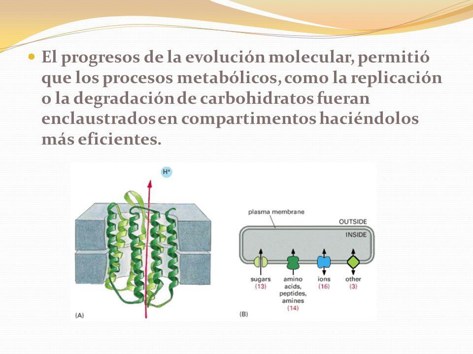 El progresos de la evolución molecular, permitió que los procesos metabólicos, como la replicación o la degradación de carbohidratos fueran enclaustrados en compartimentos haciéndolos más eficientes.