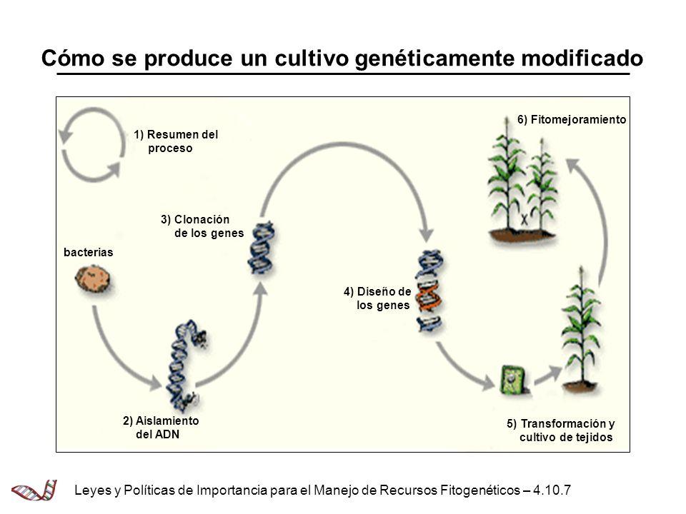 Cómo se produce un cultivo genéticamente modificado