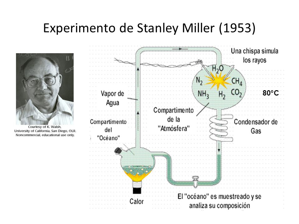 urey and miller experiment Learn how amino acids, important building blocks of life, may have originated on earth, in this video from nova: life's rocky start in the early 1950s, scientists miller and urey set up lab equipment to simulate what they understood to be the environment of early earth a spark, simulating.