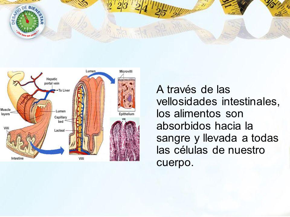 A través de las vellosidades intestinales, los alimentos son absorbidos hacia la sangre y llevada a todas las células de nuestro cuerpo.