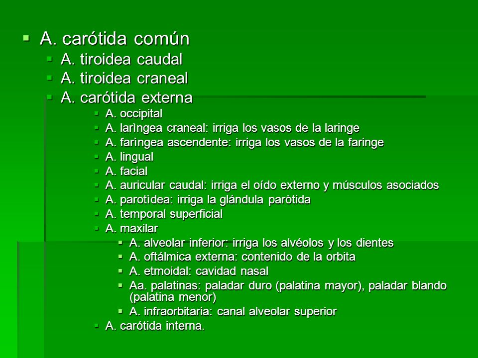 A. carótida común A. tiroidea caudal A. tiroidea craneal