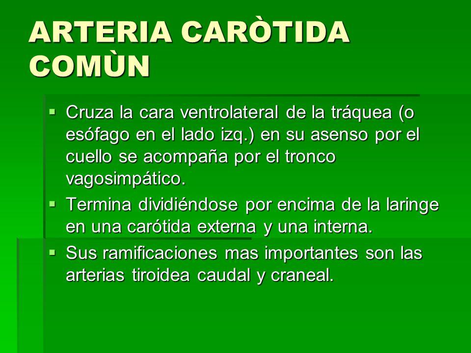 ARTERIA CARÒTIDA COMÙN
