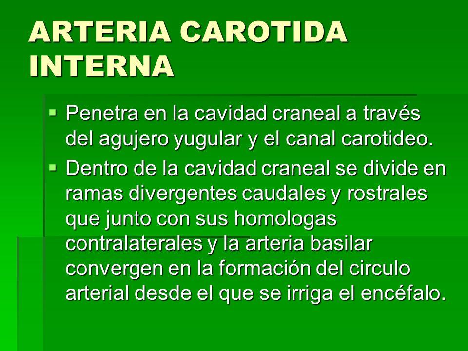 ARTERIA CAROTIDA INTERNA