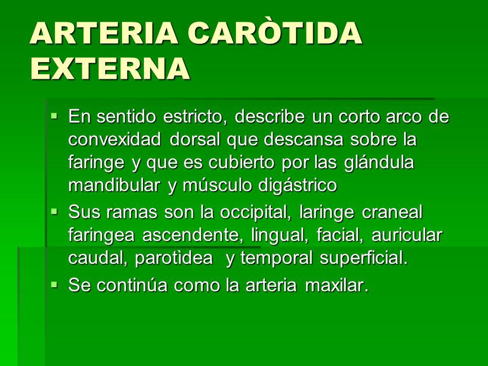 ARTERIA CARÒTIDA EXTERNA