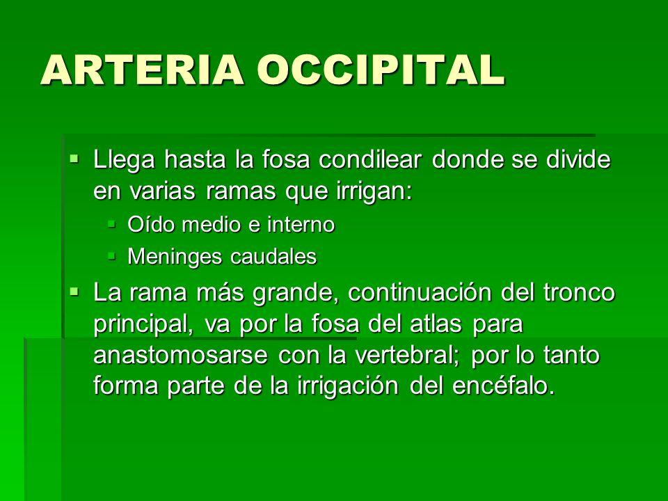 ARTERIA OCCIPITALLlega hasta la fosa condilear donde se divide en varias ramas que irrigan: Oído medio e interno.