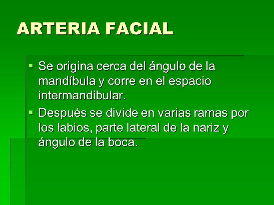 ARTERIA FACIALSe origina cerca del ángulo de la mandíbula y corre en el espacio intermandibular.