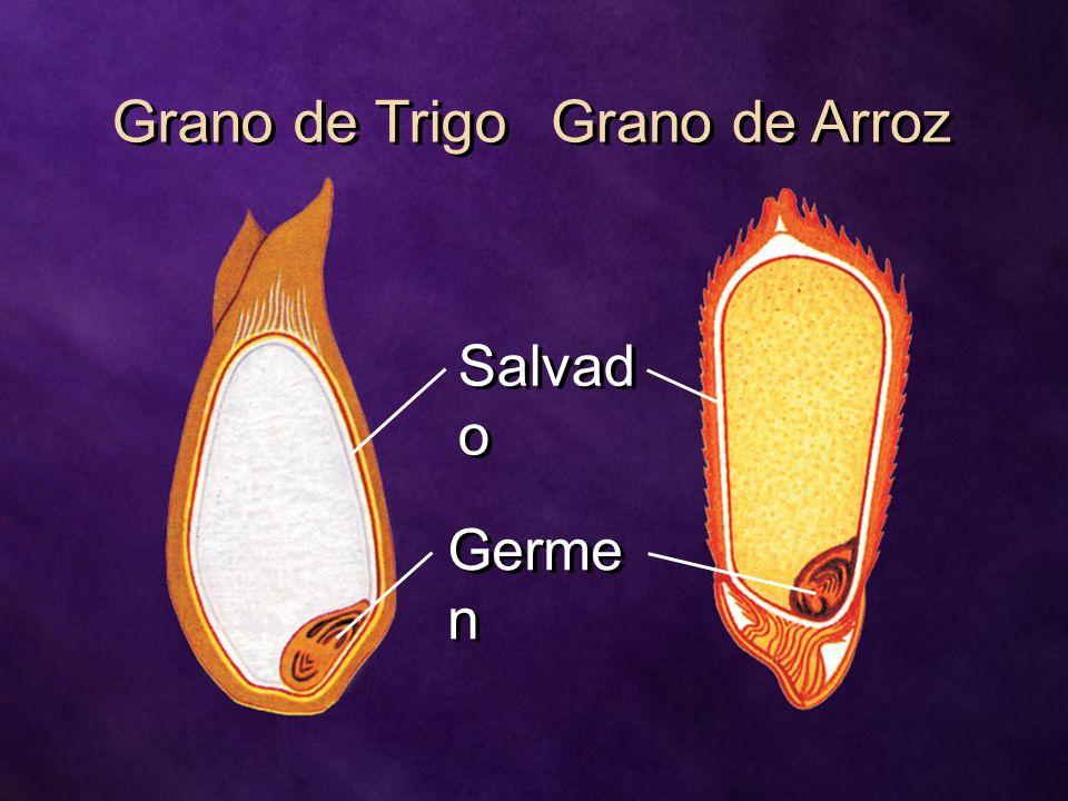 Grano de Trigo Grano de Arroz Salvado Germen