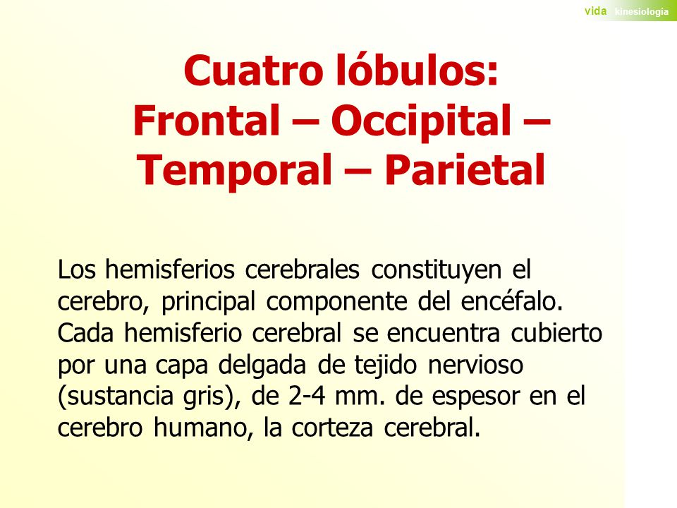 Cuatro lóbulos: Frontal – Occipital – Temporal – Parietal