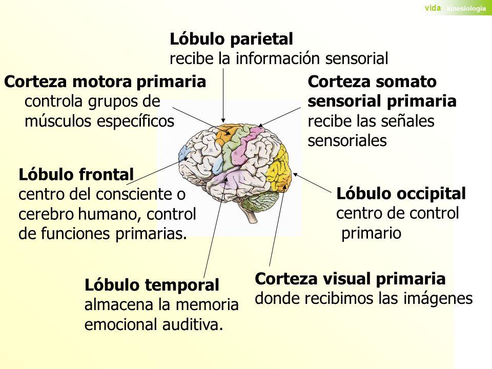 Lóbulo parietal recibe la información sensorial. Corteza motora primaria. controla grupos de. músculos específicos.