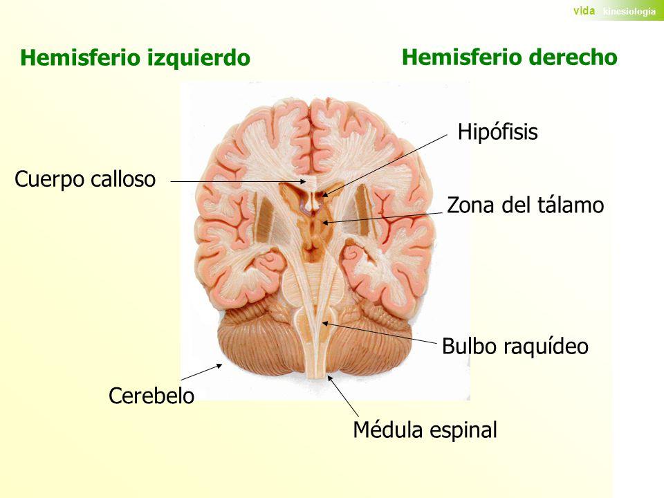 Hemisferio izquierdo Hemisferio derecho. Hipófisis. Cuerpo calloso. Zona del tálamo. Bulbo raquídeo.