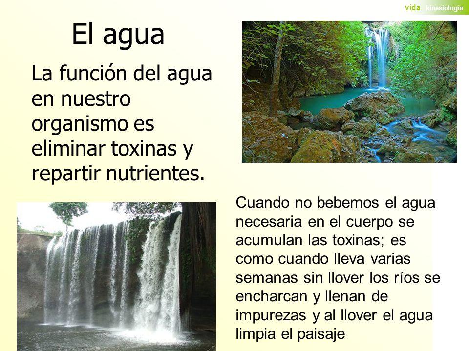El agua La función del agua en nuestro organismo es eliminar toxinas y repartir nutrientes.