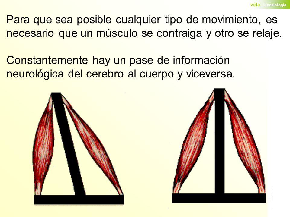 Para que sea posible cualquier tipo de movimiento, es necesario que un músculo se contraiga y otro se relaje.