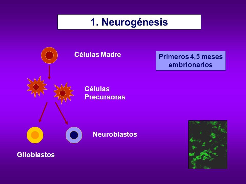1. Neurogénesis Células Madre Primeros 4,5 meses embrionarios