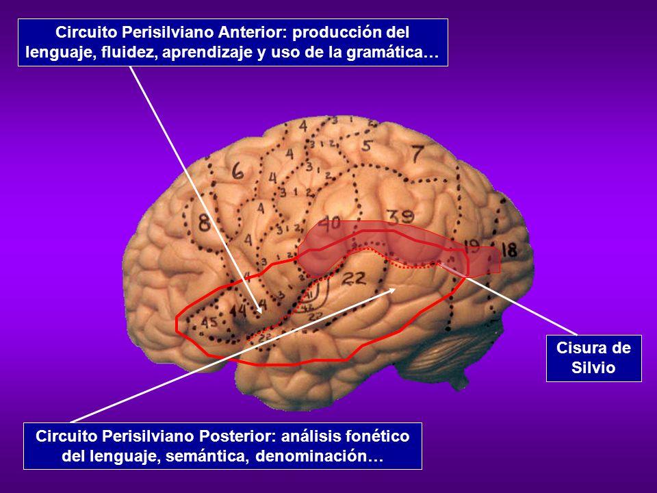 Circuito Perisilviano Anterior: producción del lenguaje, fluidez, aprendizaje y uso de la gramática…