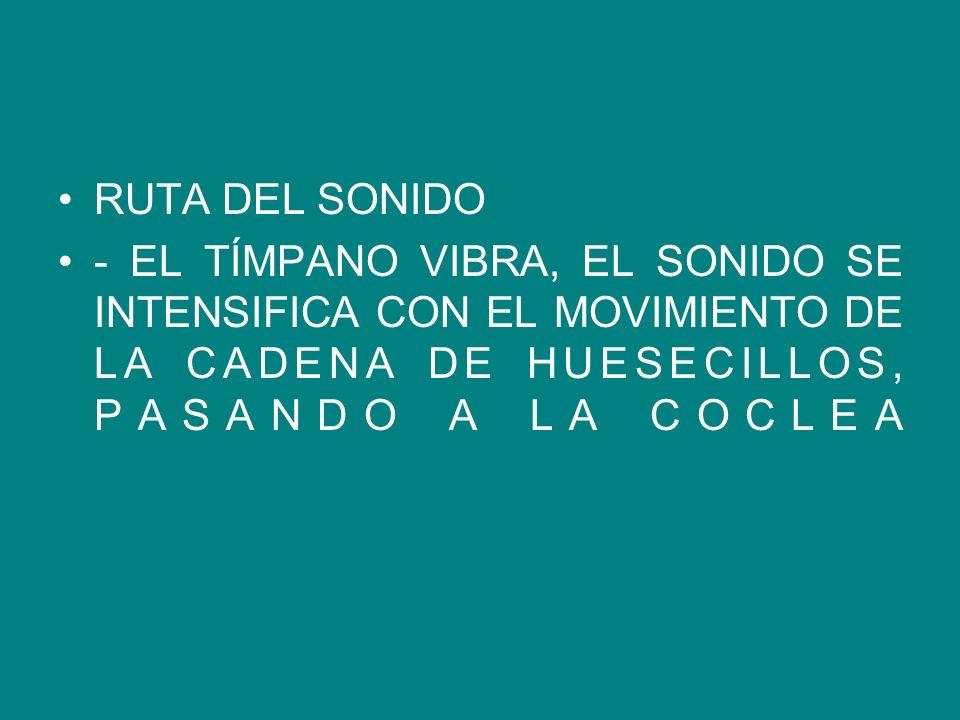 RUTA DEL SONIDO - EL TÍMPANO VIBRA, EL SONIDO SE INTENSIFICA CON EL MOVIMIENTO DE LA CADENA DE HUESECILLOS, PASANDO A LA COCLEA.