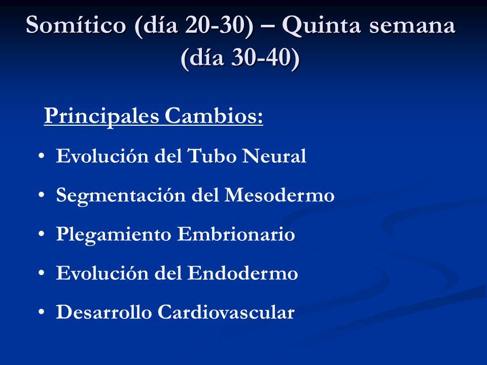Somítico (día 20-30) – Quinta semana (día 30-40)