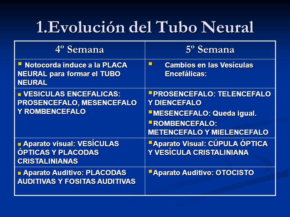 1.Evolución del Tubo Neural