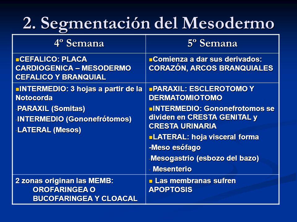 2. Segmentación del Mesodermo