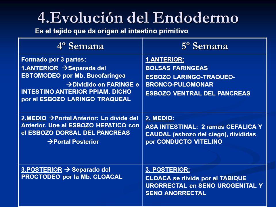 4.Evolución del Endodermo