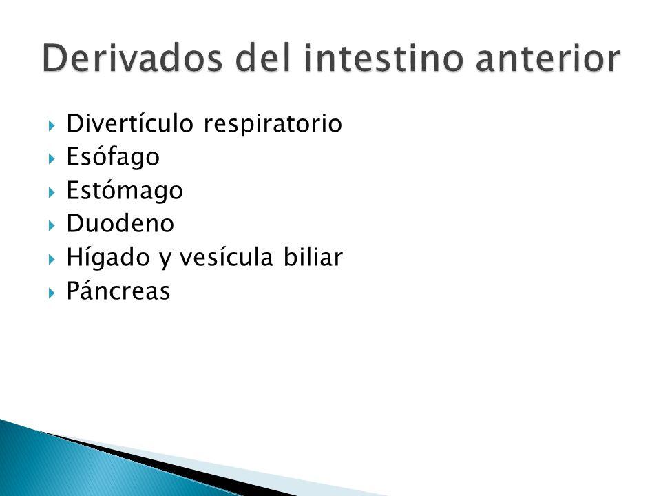 Derivados del intestino anterior