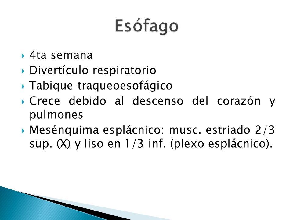Esófago 4ta semana Divertículo respiratorio Tabique traqueoesofágico