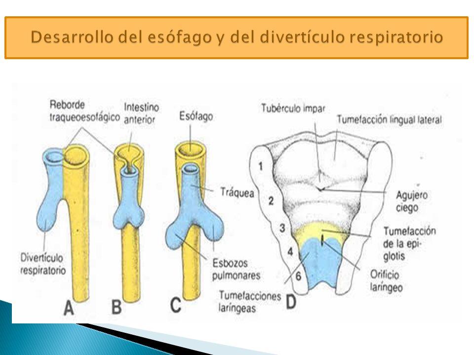 Desarrollo del esófago y del divertículo respiratorio