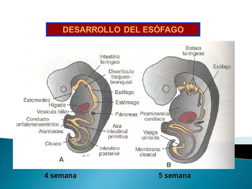 DESARROLLO DEL ESÓFAGO