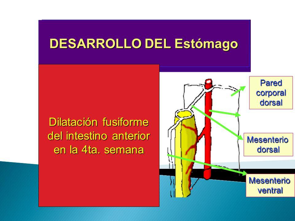 DESARROLLO DEL Estómago