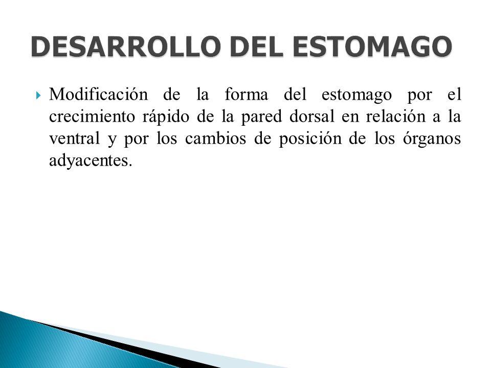 DESARROLLO DEL ESTOMAGO