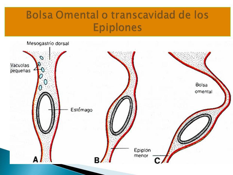 Bolsa Omental o transcavidad de los Epiplones
