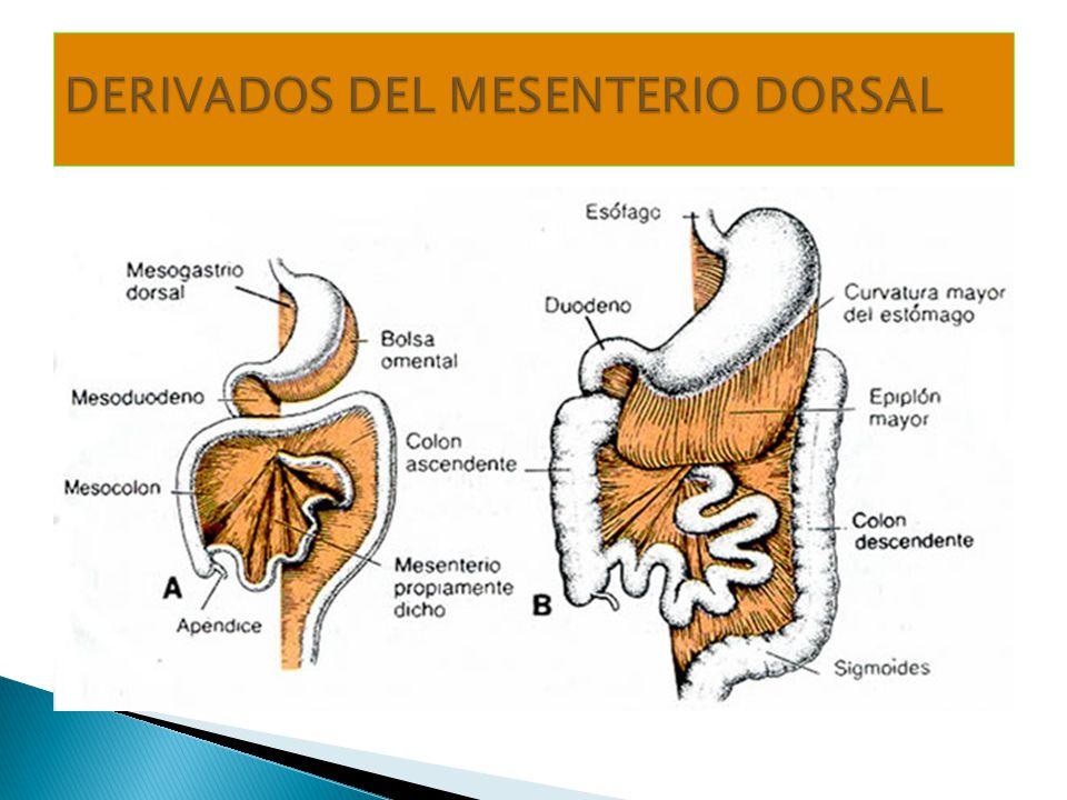 DERIVADOS DEL MESENTERIO DORSAL