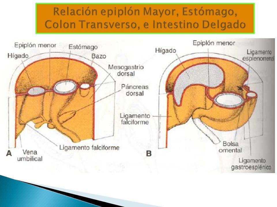 Relación epiplón Mayor, Estómago, Colon Transverso, e Intestino Delgado
