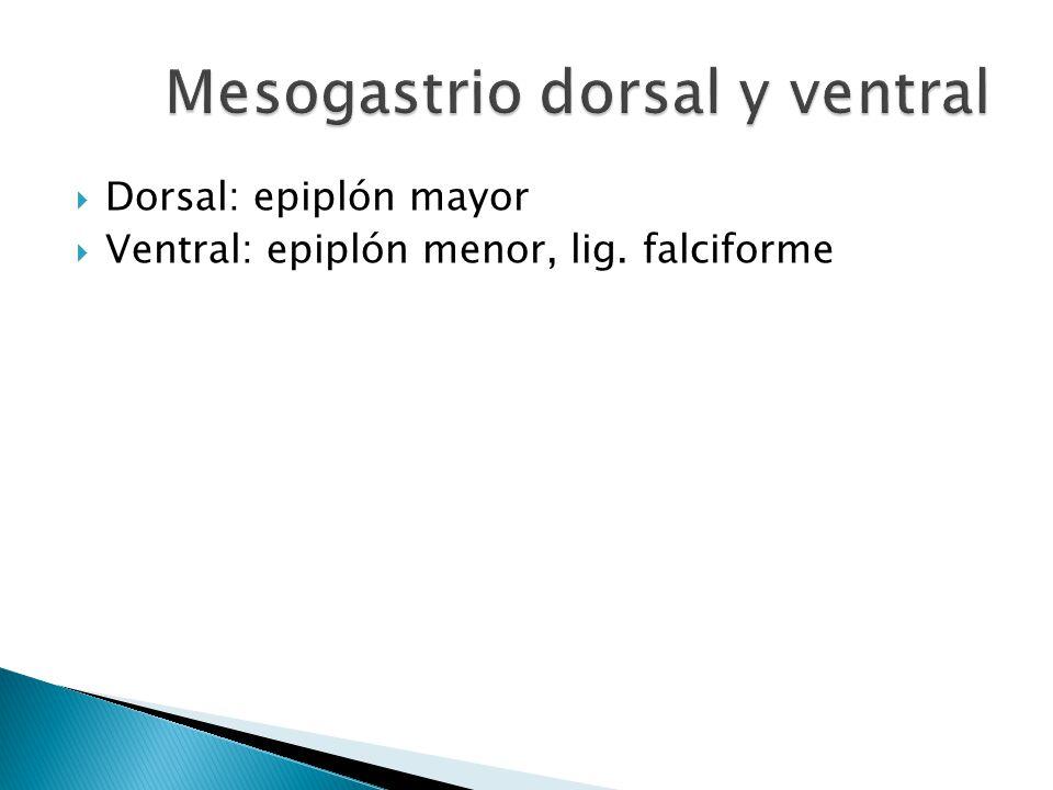 Mesogastrio dorsal y ventral