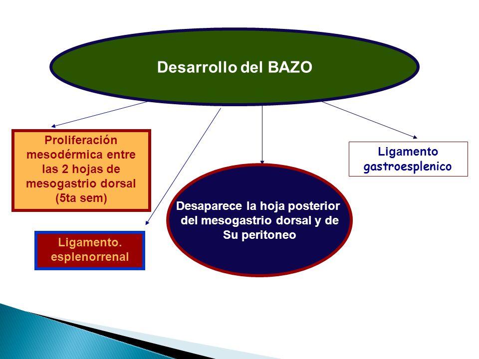 Desarrollo del BAZO Proliferación mesodérmica entre las 2 hojas de mesogastrio dorsal (5ta sem) Ligamento gastroesplenico.