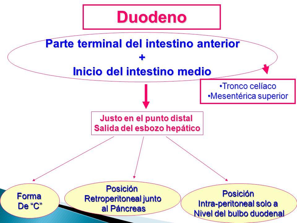 Duodeno Parte terminal del intestino anterior +