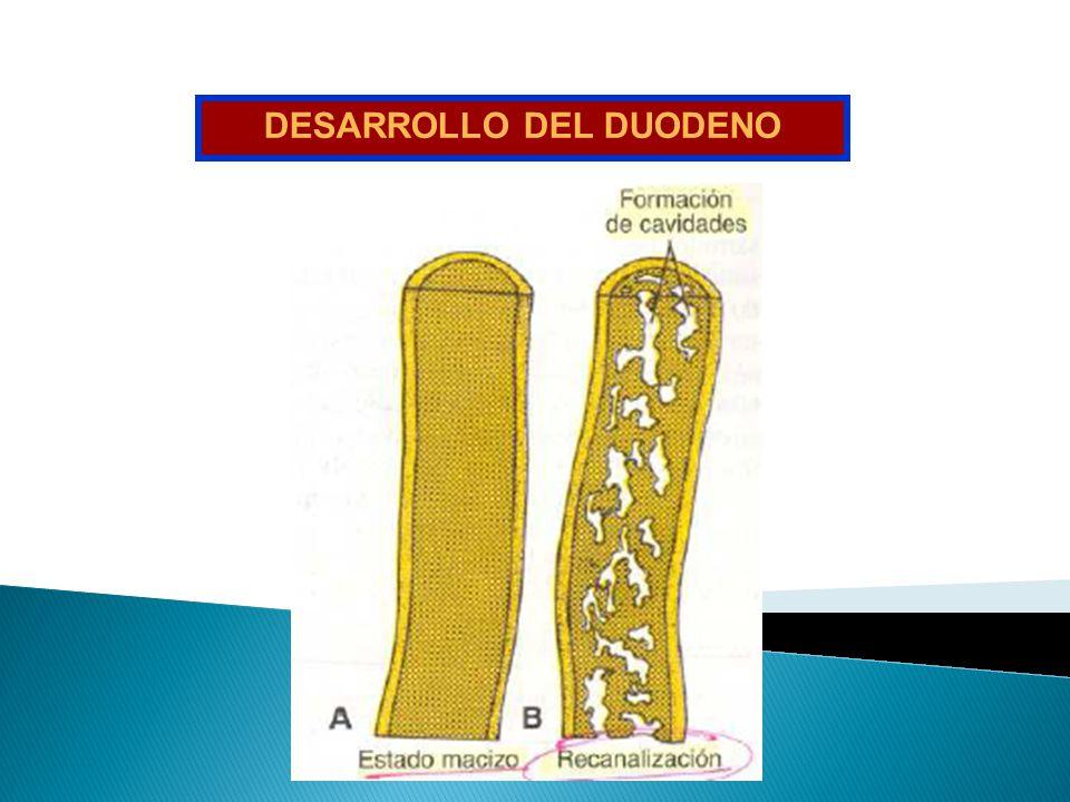 DESARROLLO DEL DUODENO